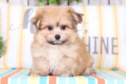 Puppies for Sale in Ohio and Nationwide | Puppies Online