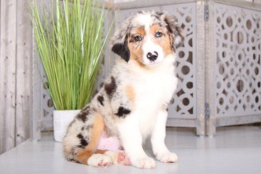 Puppies For Sale In Ohio And Nationwide Puppies Online