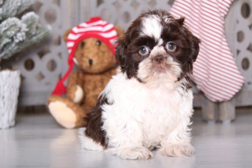 Shih Tzu Puppies For Sale Puppies Online Oh